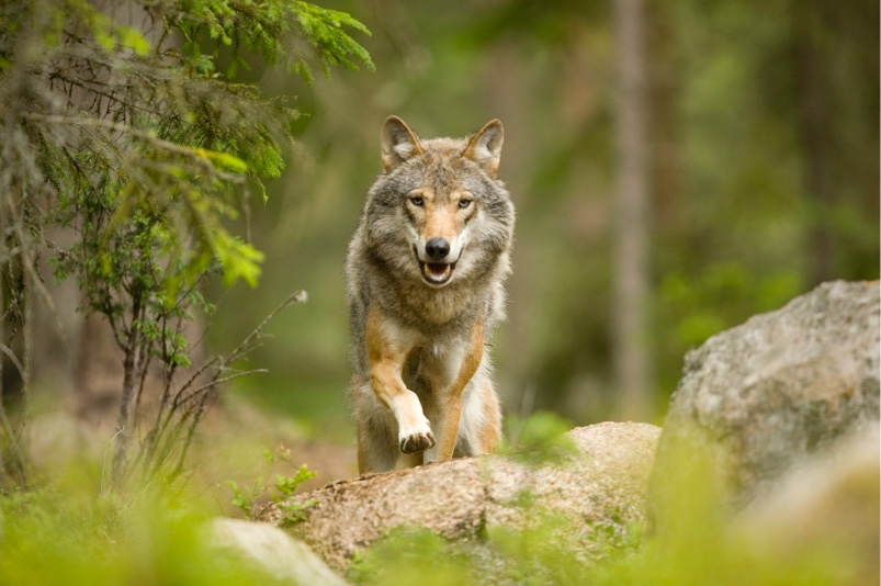 Image for Rewilding: Tracking Wolves in the Forests of Sweden